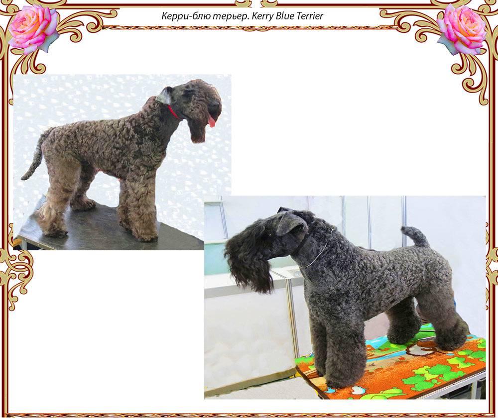 Керри блю терьер собака. описание, особенности, уход и цена керри блю терьера | животный мир