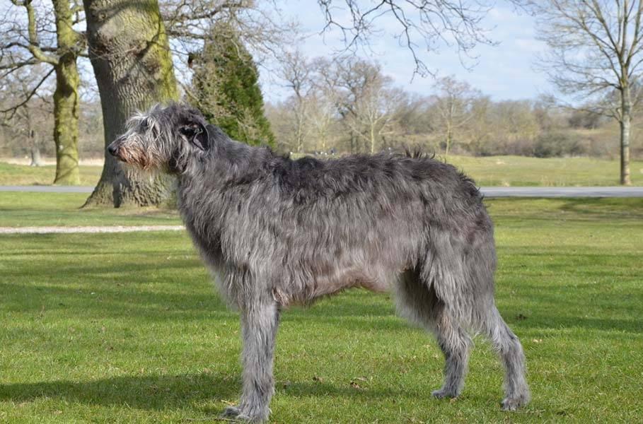 Дирхаунд (оленья борзая): описание породы собак с фото и видео