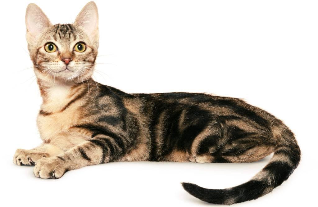 Сококе или соукок: описание породы кошек, характер, фото и цена