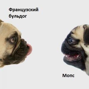 Мопс или французский бульдог