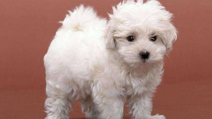 Характеристика русских цветных болонок: внешность и характер собак