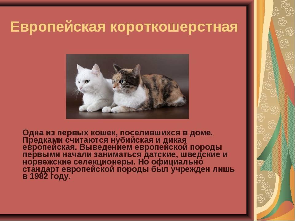Невские маскарадные кошки - фото, описание (характер, уход) и цены