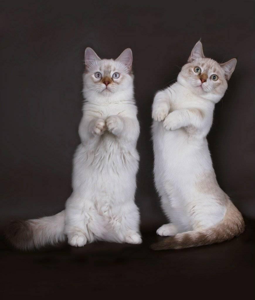 9 самых ласковых пород кошек