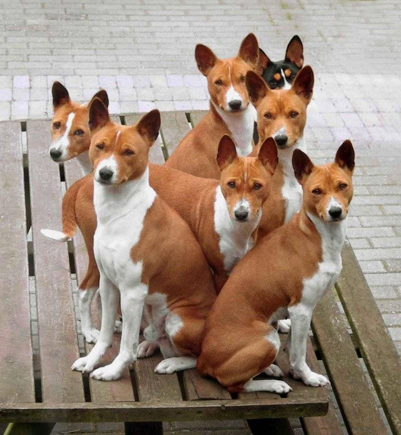 Собака, которая не лает: название породы