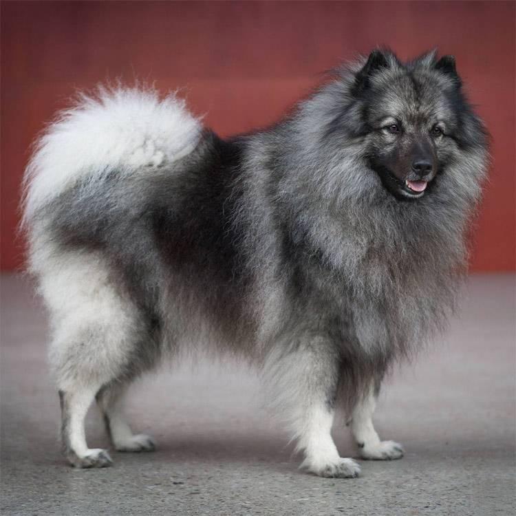 Собака вольфшпиц (кеесхонд)