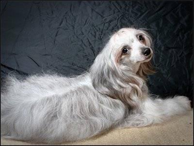 Китайская хохлатая пуховая собака: все о породе