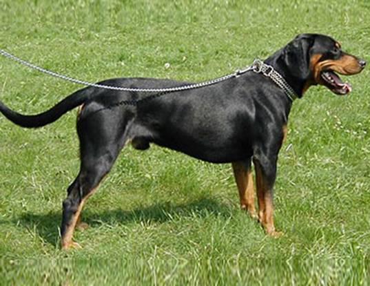 Словацкий копов: фото, описание породы, уход, характер   все о собаках