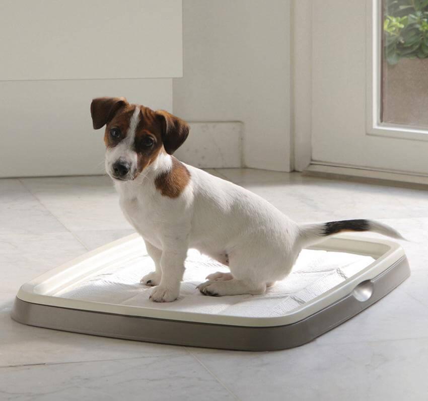 Как приучить собаку к лотку   взрослую и щенка