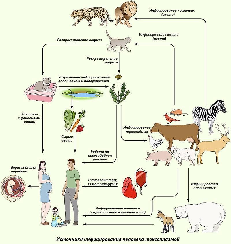 Как передается токсоплазмоз от кошки к человеку?