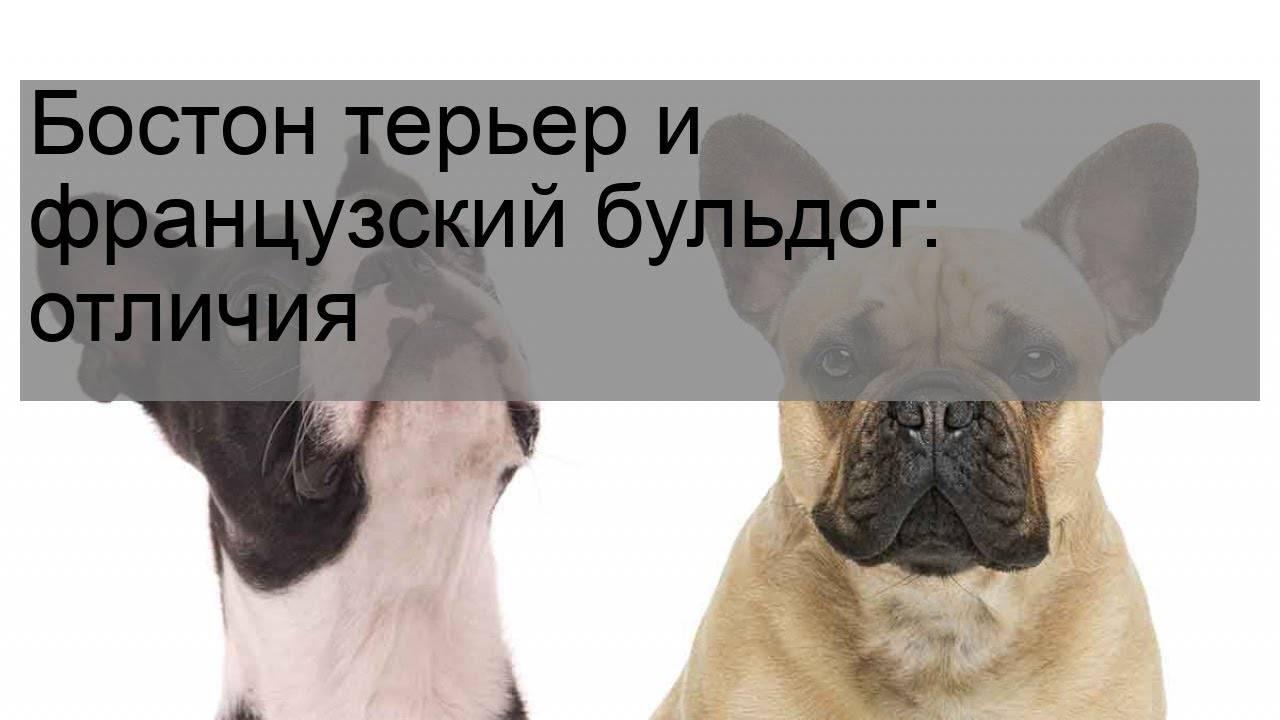 Порода похожая на французского бульдога: английские, американские, мопсы, немецкие боксеры, бостон-терьеры и другие собаки