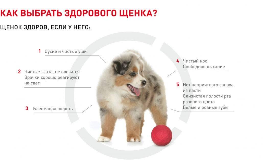В каком возрасте лучше брать щенка? как выбрать здорового щенка?