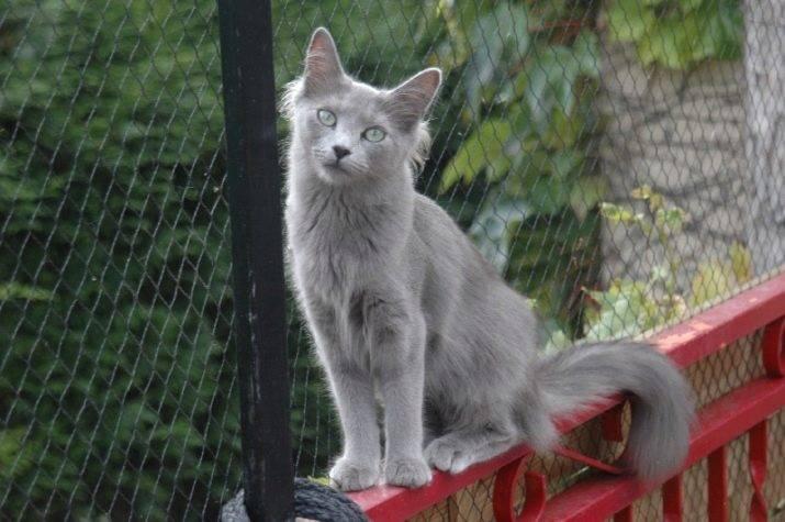 Нибелунг (порода кошек) — википедия. что такое нибелунг (порода кошек)