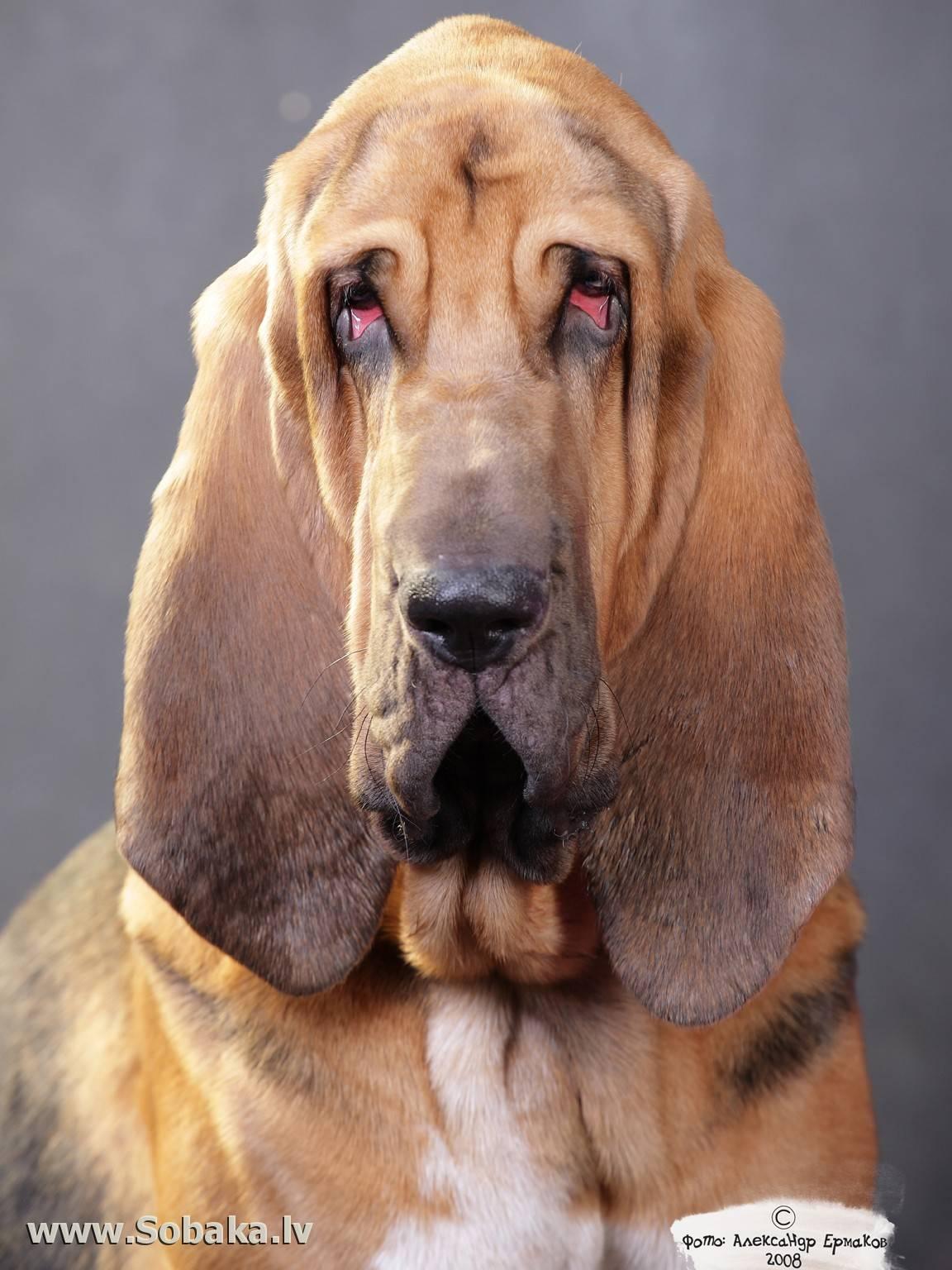 Собаки с большими ушами: фото и названия пород