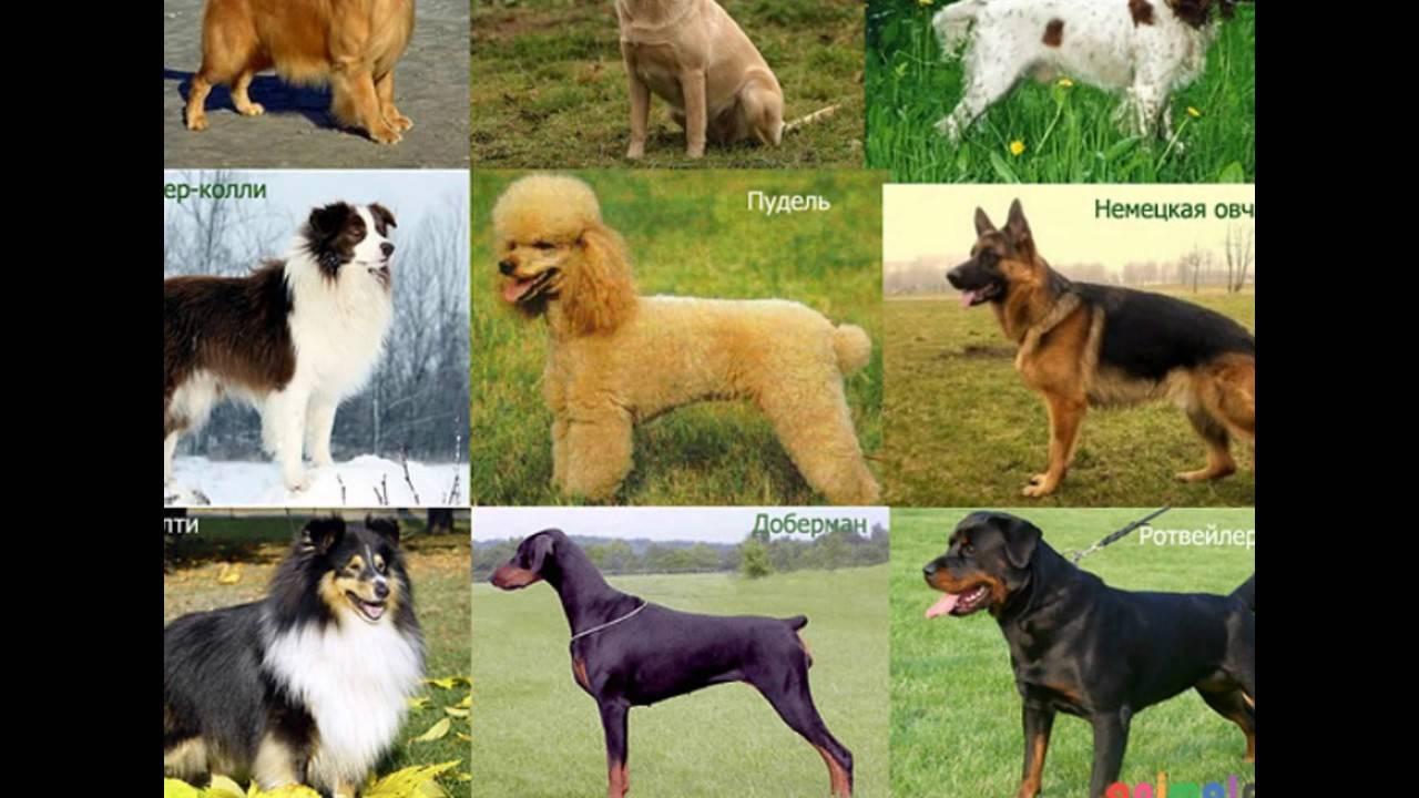 Породы собак для начинающего владельца | hidogs.ru