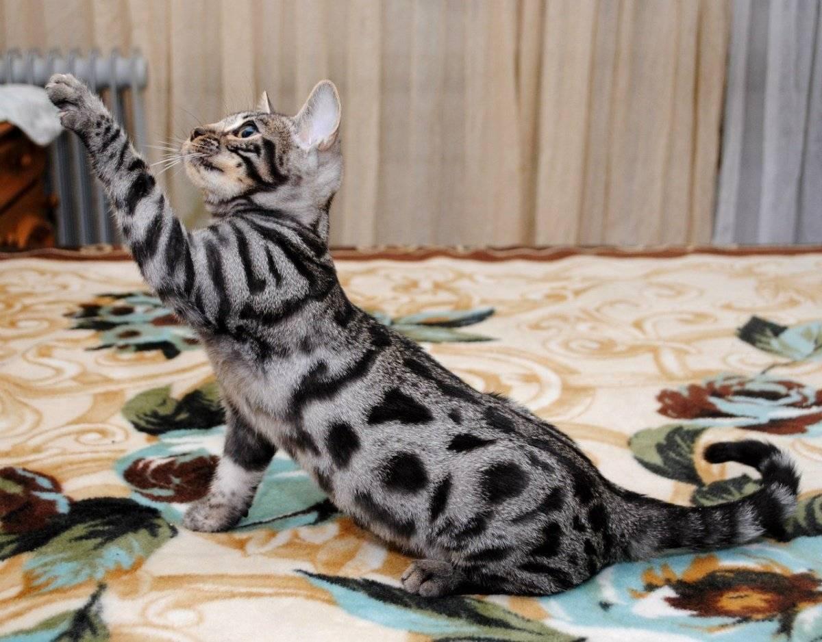 Разновидности домашних пород пятнистых кошек