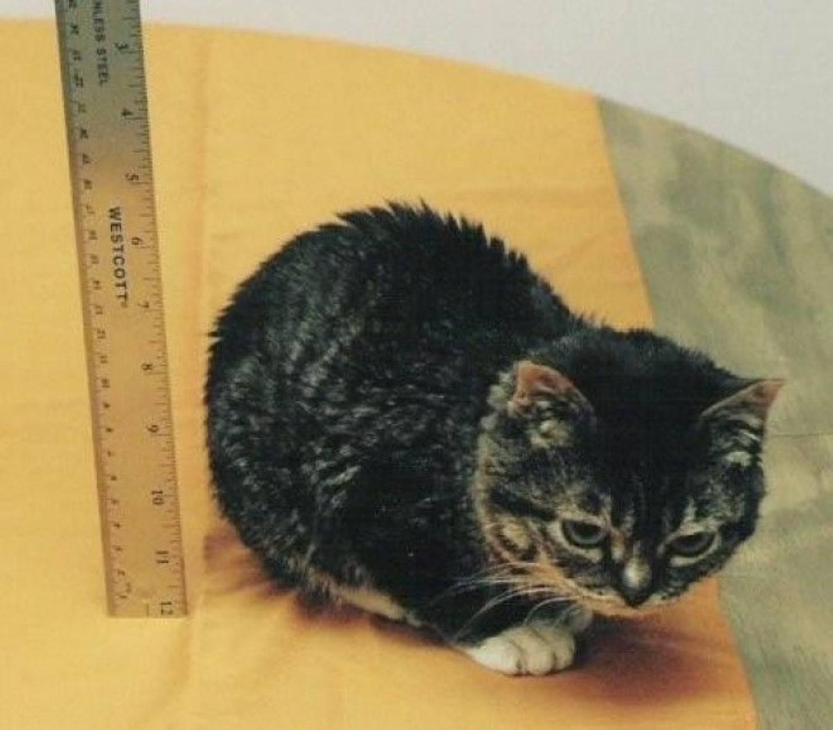 10 самых маленьких пород кошек