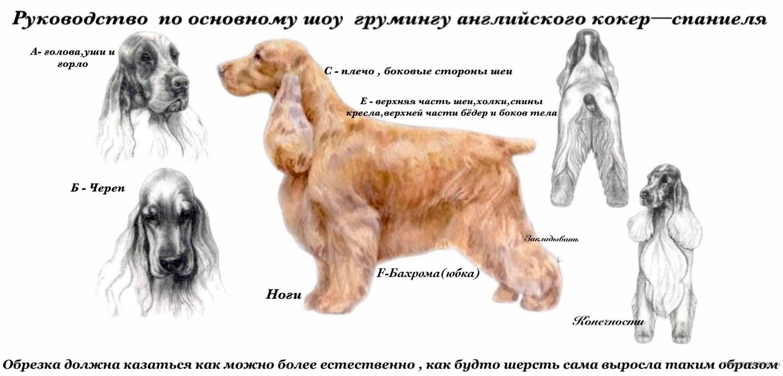 Русский охотничий спаниель: характеристика породы, описание внешности и характера, отзывы владельцев