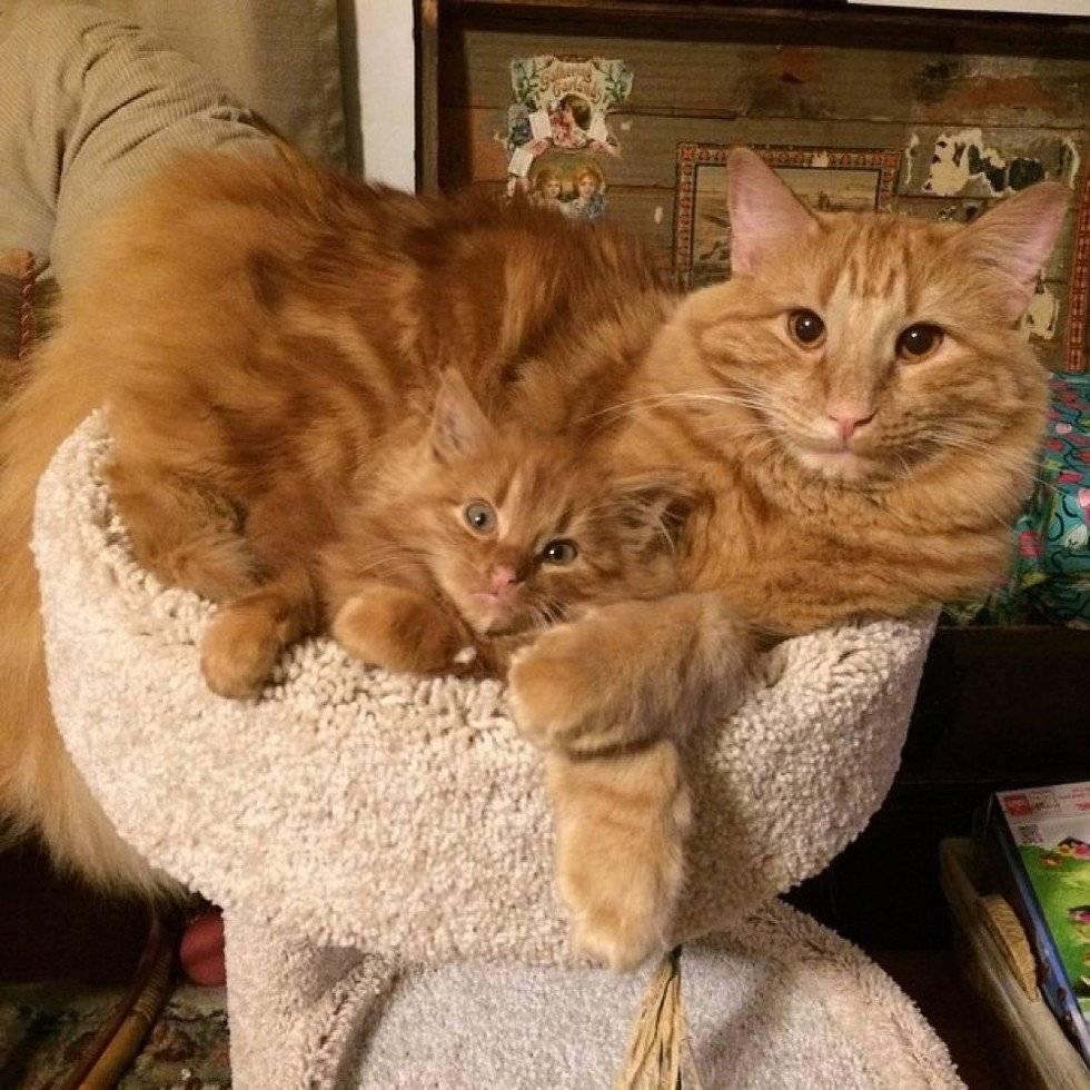 «а я рыжий что-ли?» рыжие коты — кто это такие и в чем их секрет?