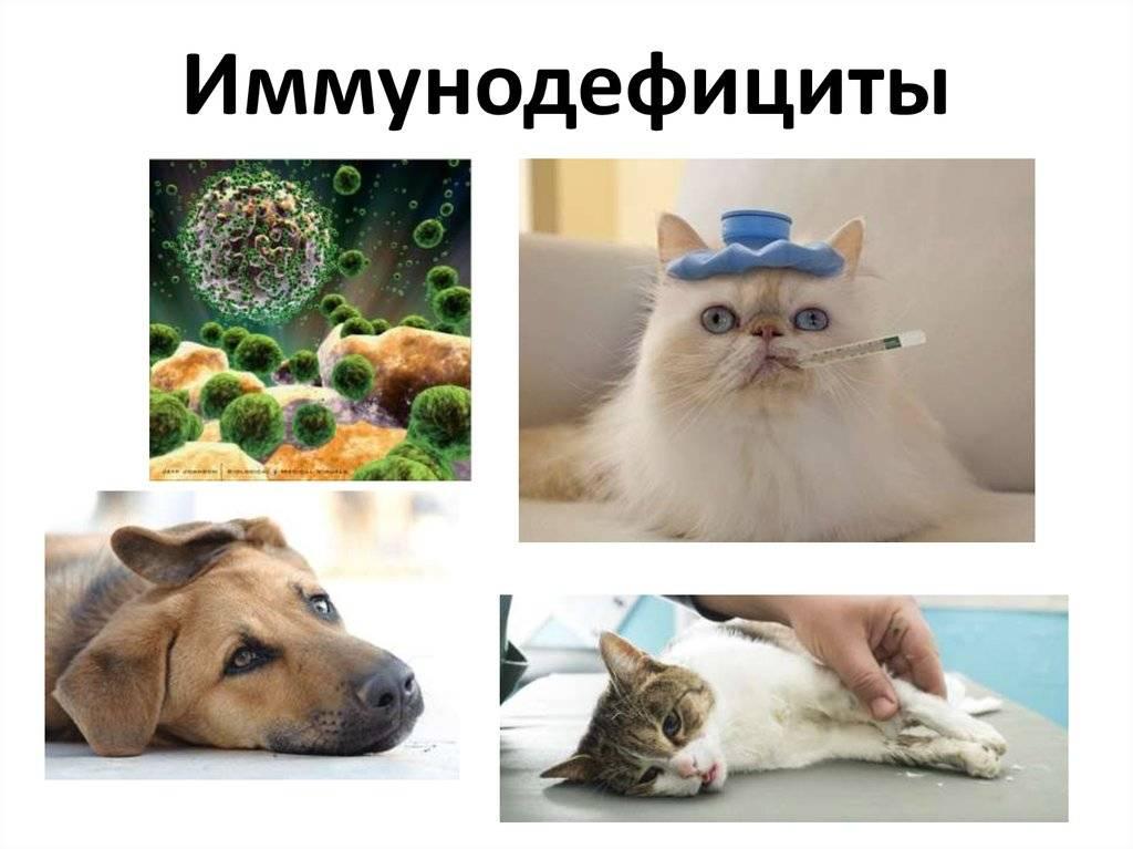 Коварный иммунодефицит кошек. как его обнаружить?   животные   общество   аиф челябинск