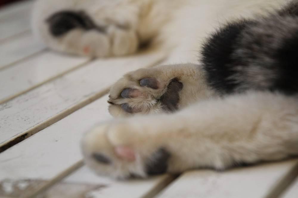 Если кошка (кот) хромает на переднюю лапу что делать
