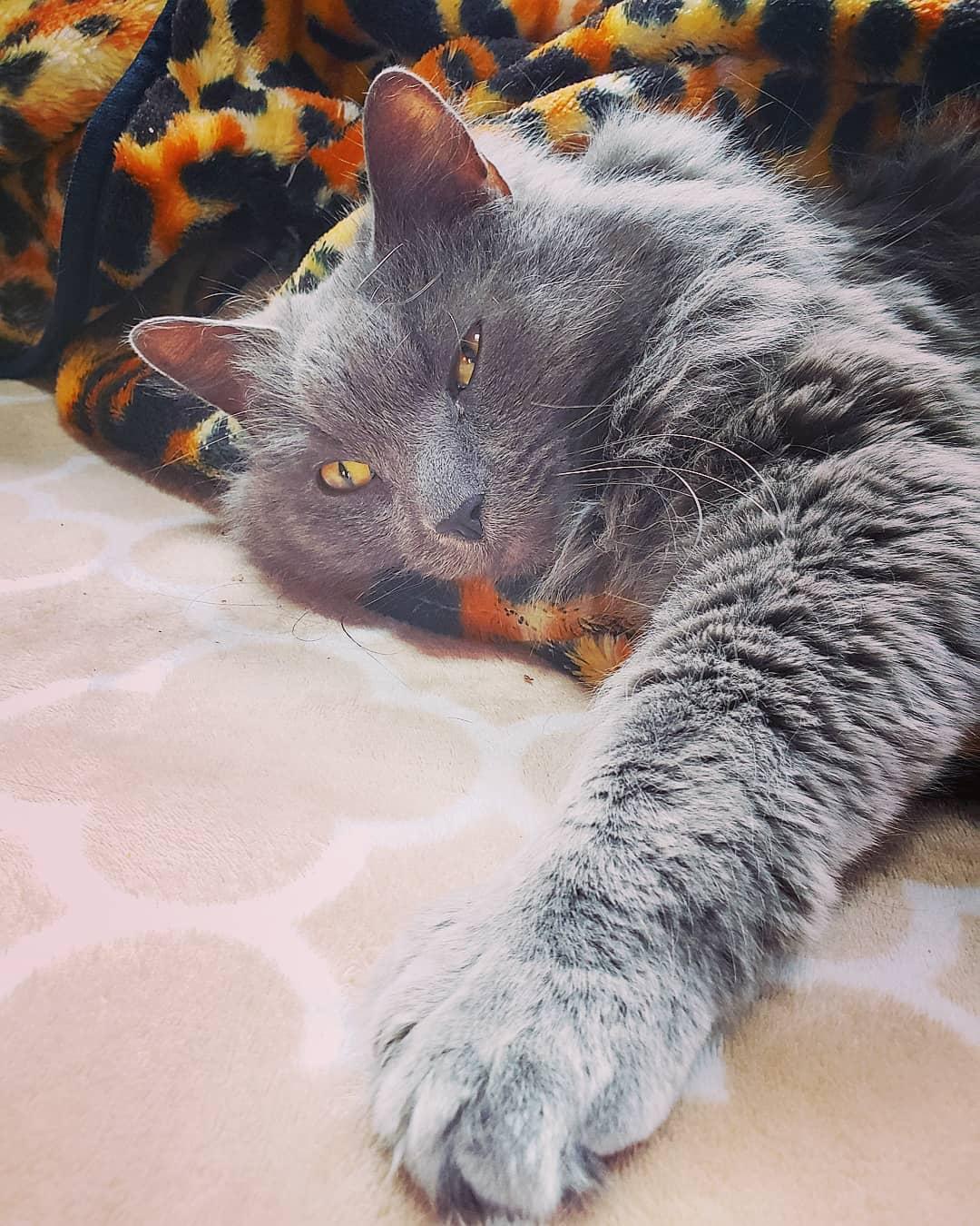 Нибелунг – порода кошек с ласковым характером и королевским внешним видом