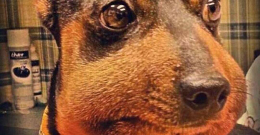 Собаку укусила пчела - что делать?