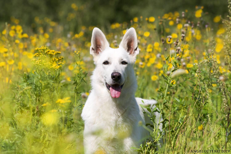 Белая швейцарская овчарка: описание породы и выращивание