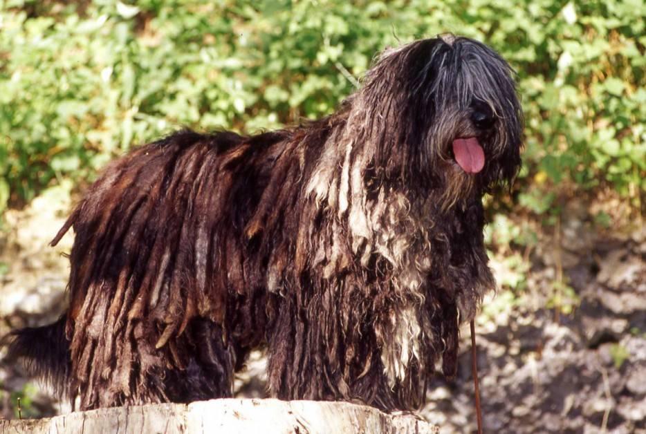 10 необычных пород собак, о которых мало кто слышал - gafki.ru