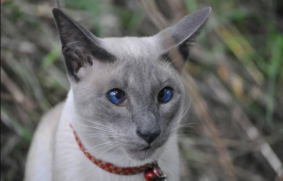 Тайская кошка (фото): верный компаньон с удивительным окрасом и голубыми глазами - kot-pes