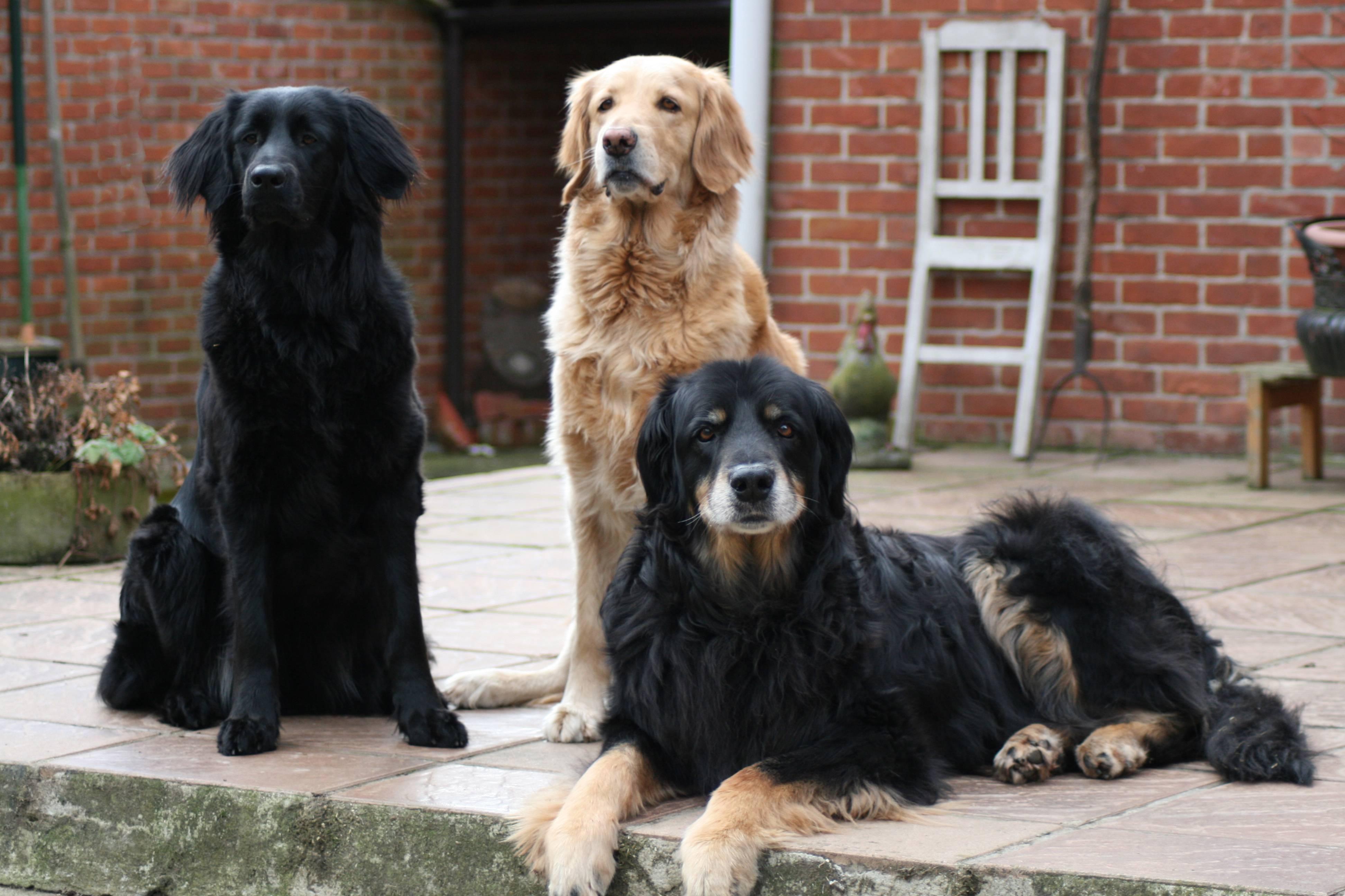 Ховаварт: фото и описание породы собак, особенности характера и история
