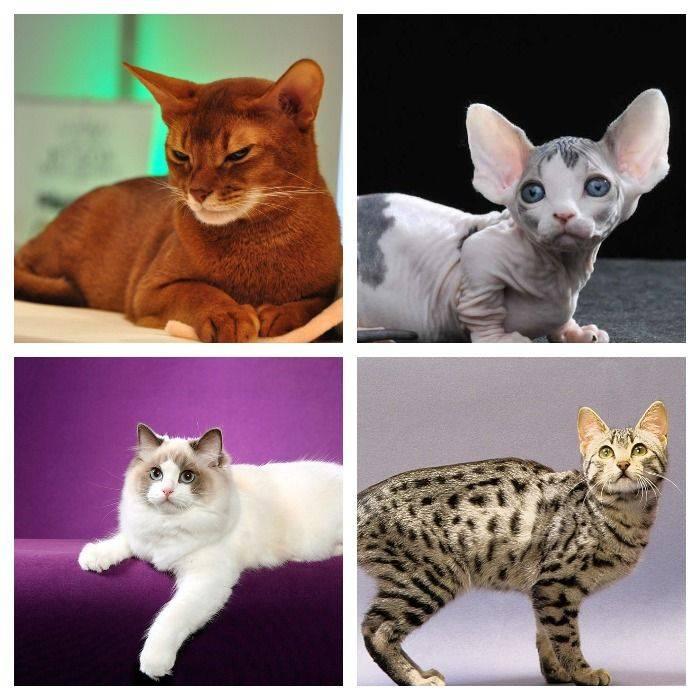 Редкие породы кошек, названия, фото и информация о них