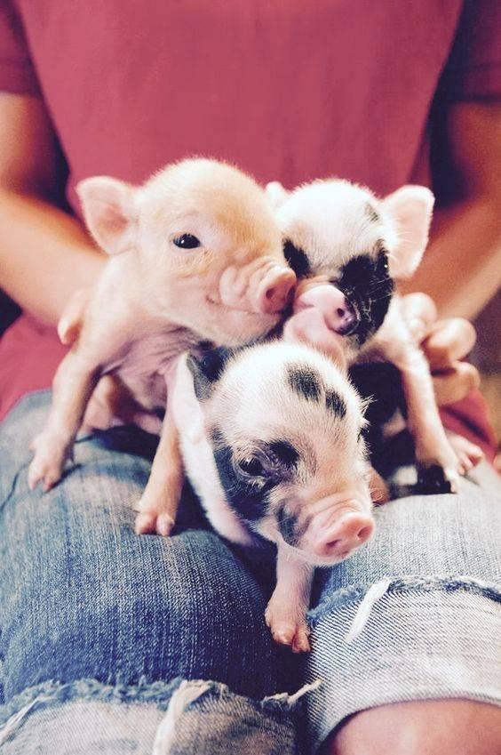 Мини-пиг - декоративная свинья в вашем доме