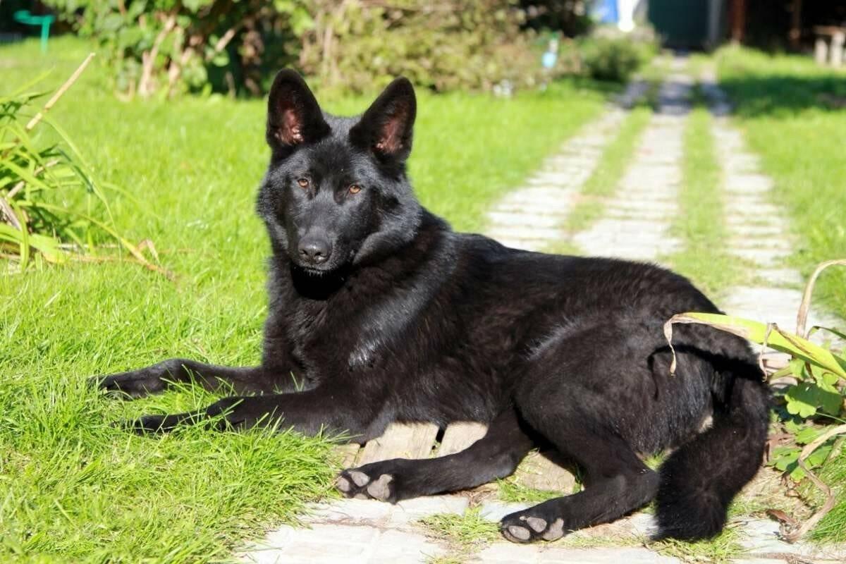 Какие есть породы собак, похожих на волков и их виды