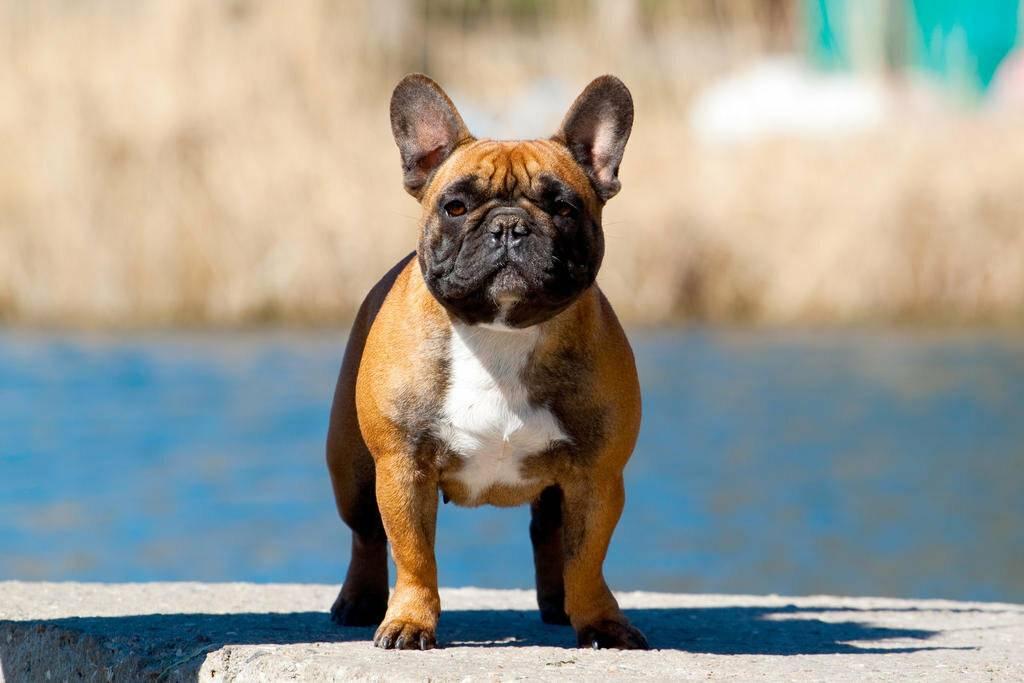 Палевый французский бульдог: окрас собаки и как выглядит животное на фото, в чем особенность характера и здоровья питомца