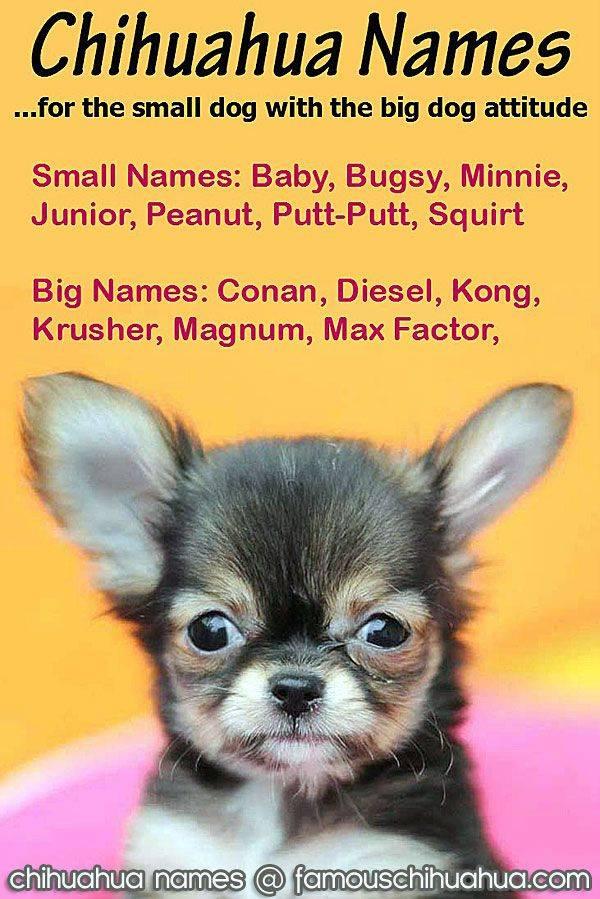 Чихуахуа: клички для мальчиков и девочек, список редких, интересных и необычных имен, а также как назвать собаку по окрасу?