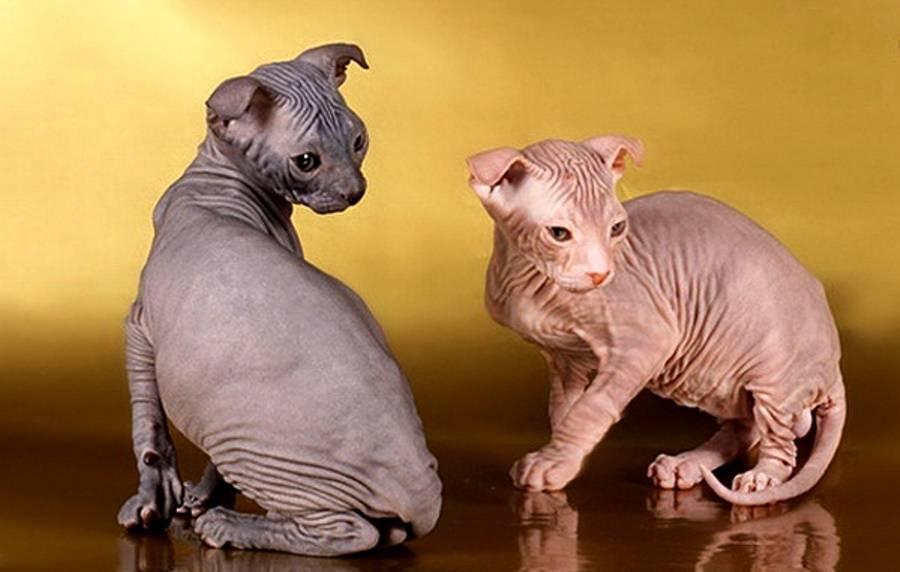Кто такая украинская левкая кошка: особенности породы вислоухих сфинксов