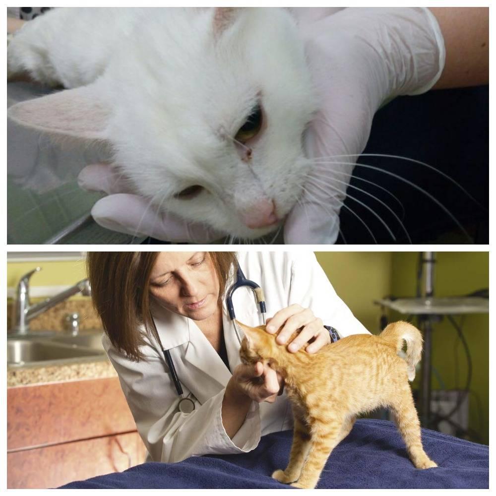 Эпилепсия у кошек: симптомы и лечение