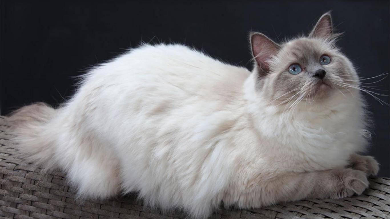 Рэгдолл — порода плюшевых кошек