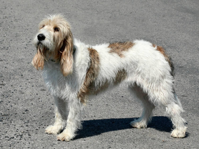 Бассет-хаунд: британский пес с печальными глазами