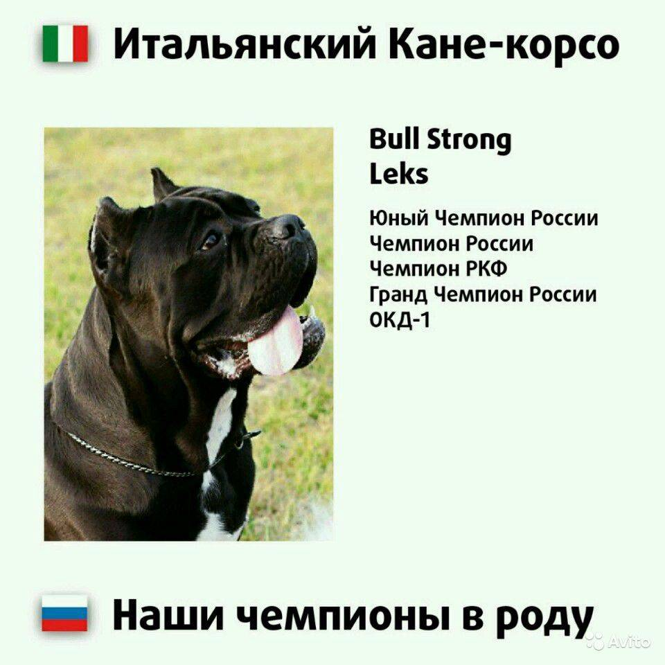 Кане-корсо: описание породы, характеристика собаки, размеры