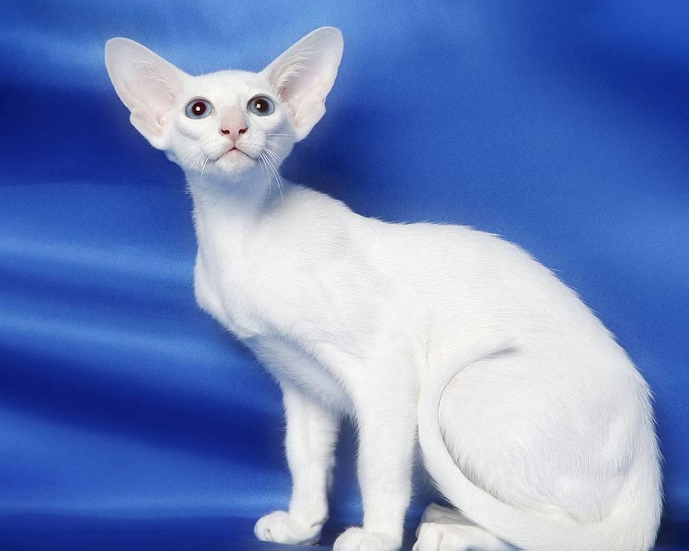 Форин вайт: описание породы и характера, фото   кот и кошка