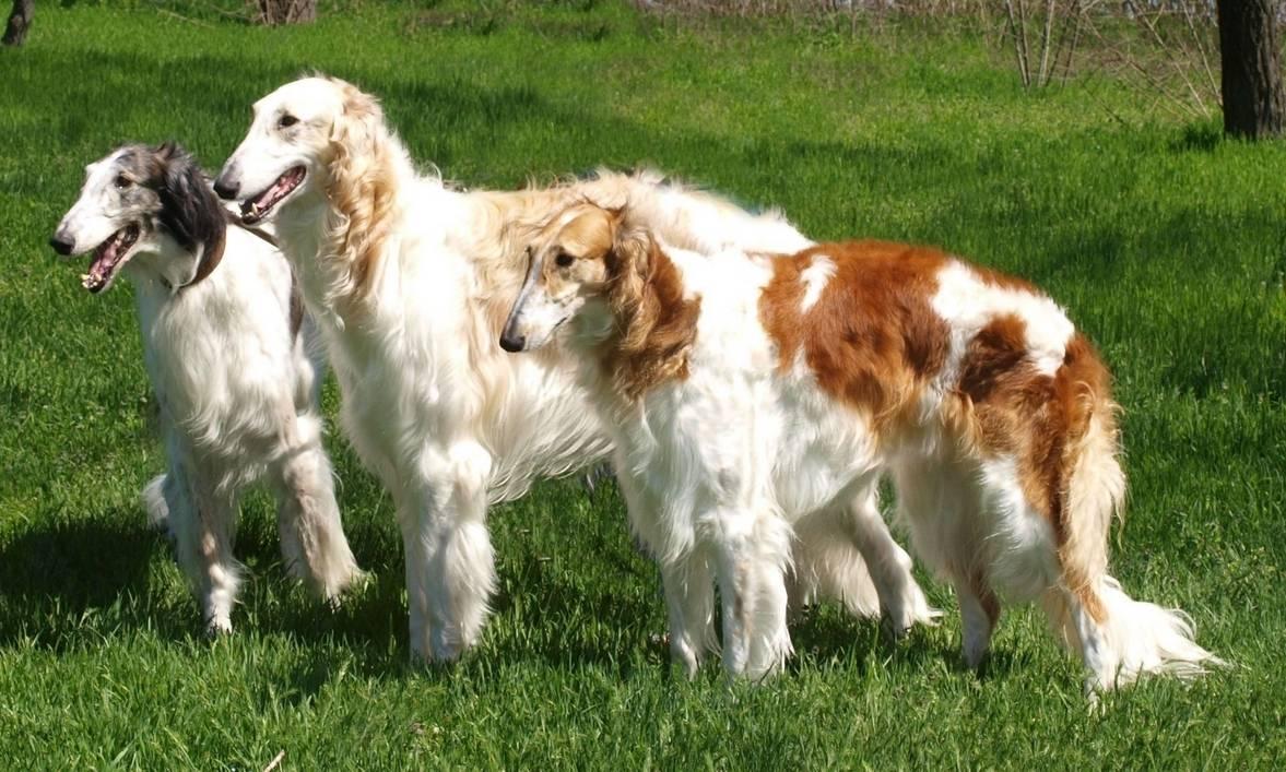 Русская псовая борзая: все о собаке, фото, описание породы, характер, цена