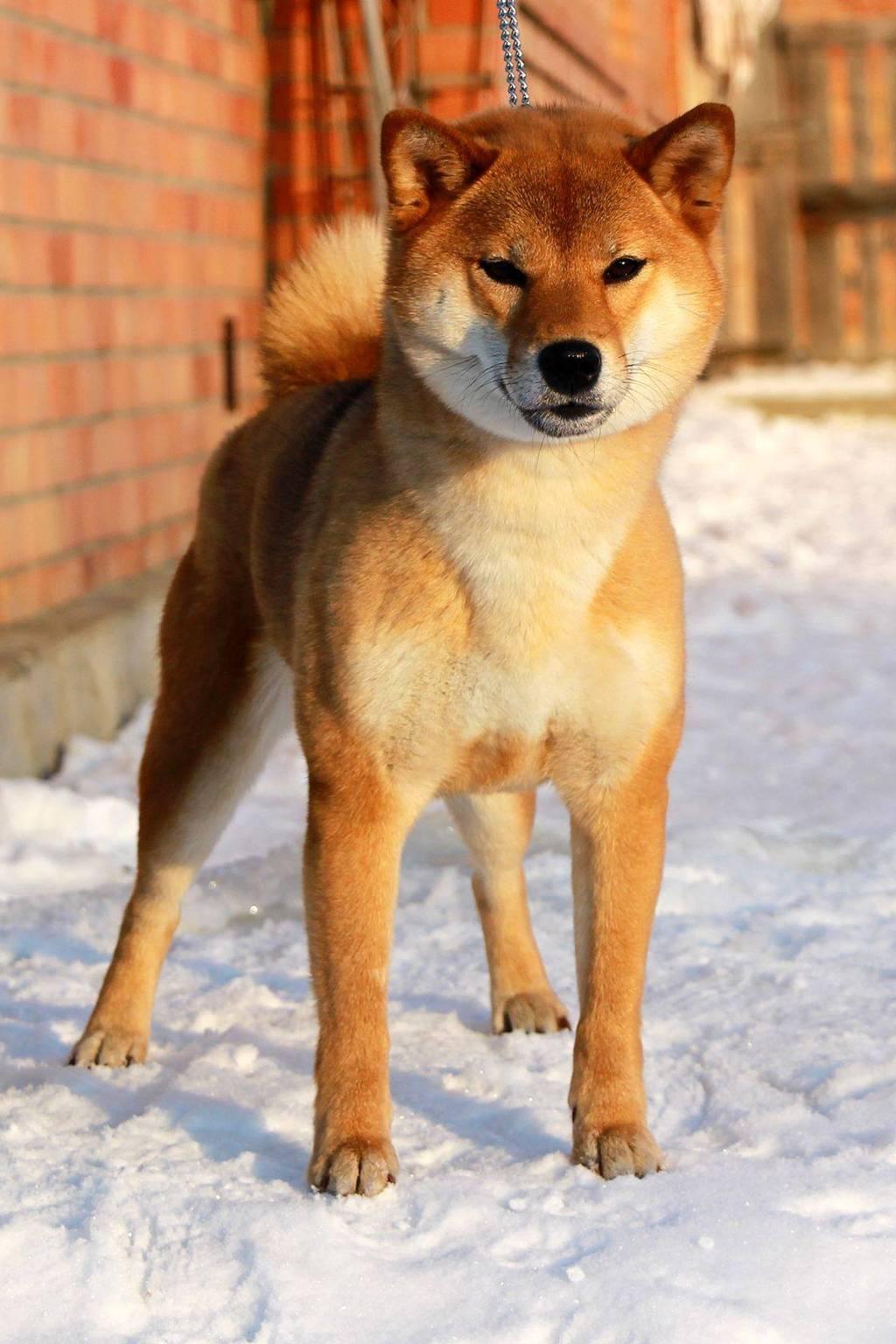 Размеры сиба-ину: вес и рост взрослого питомца в зависимости от пола + как развивается щенок
