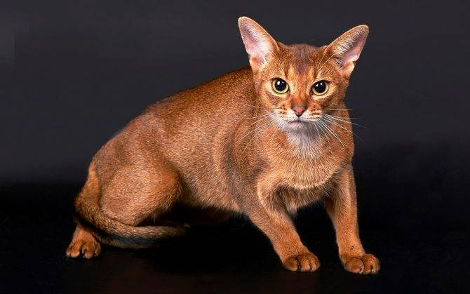 Шоколадные британцы: мимимишные плюшевые кошки