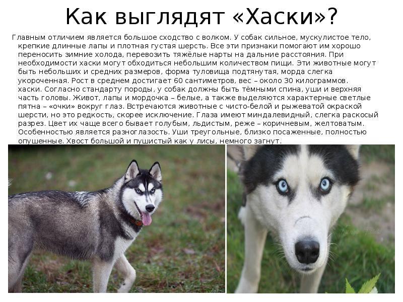 Собаки похожие на волков — обзор пород с фото и названиями
