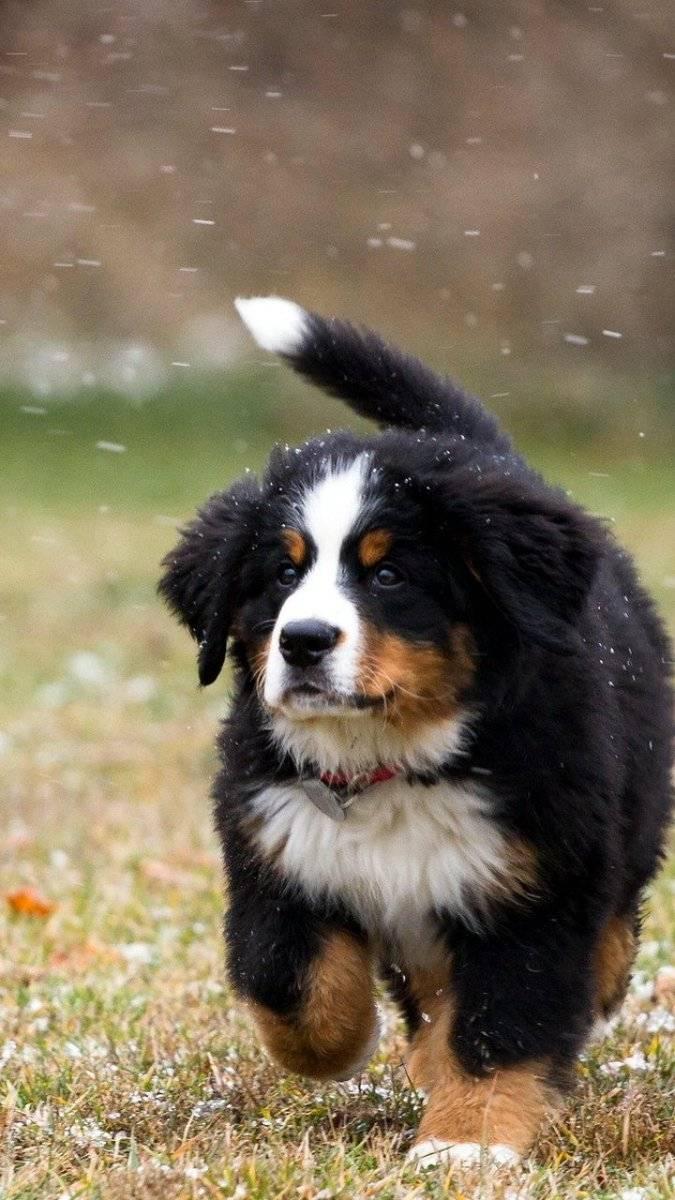 Бернский зенненхунд — фото собак, описание породы, характеристика, цена щенка, отзывы