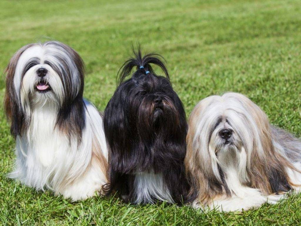 Лхаса апсо: характер и описание, фото, стоимость и уход за собакой