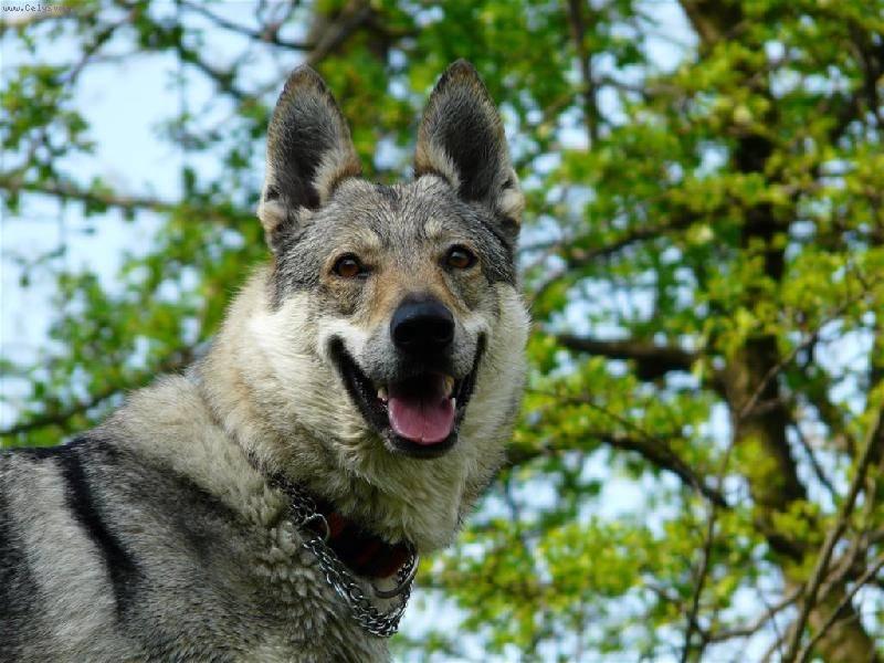 Чехословацкий влчак – описание породы, содержание и уход