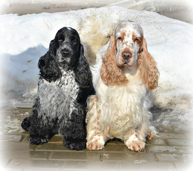 Американский кокер-спаниель: все о собаке, фото, описание породы, характер, цена