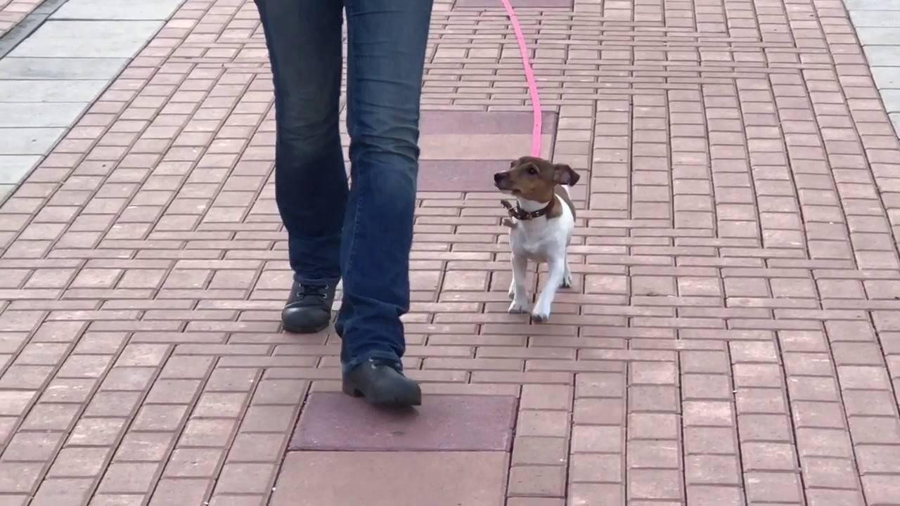Дрессировка джек рассел терьера в домашних условиях: видео как правильно дрессировать и воспитывать собаку